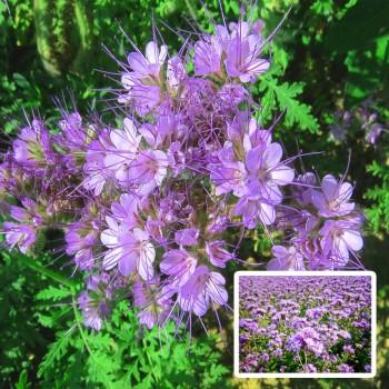 Фацелия (семена 300 гр)