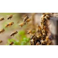Особенности приобретения пчелосемей